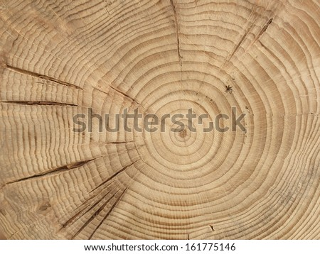 slice from a fir tree - stock photo