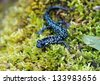 Slimy salamander, Plethodon albagula - stock photo