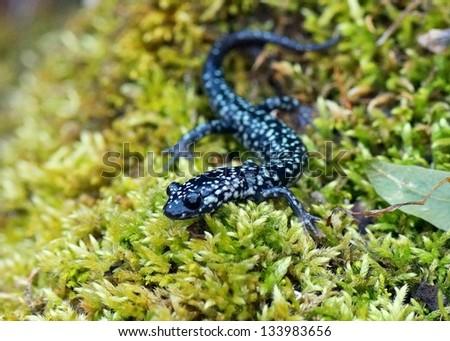 Slimy salamander, Plethodon albagula - stock photo