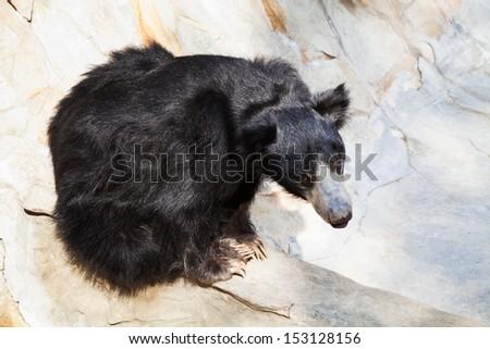 sloth bear in stone ravine in summer day - stock photo