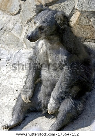 Sloth bear. Latin name - Melursus ursinus - stock photo