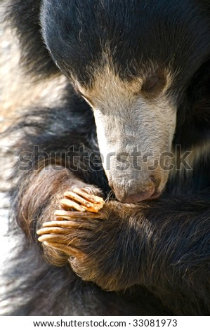 Sloth Bear (Melursus ursinus) with cookie