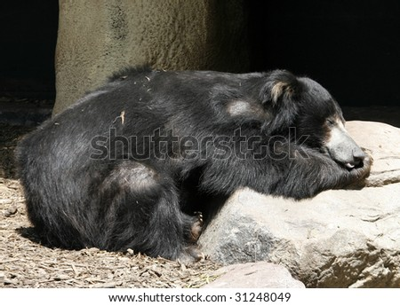 sloth bear sleeping on rock