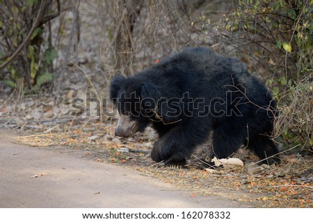 Sloth Bear walking in bush.