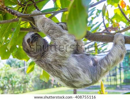 Sloth climbing a tree in costa rica rainforest  - stock photo