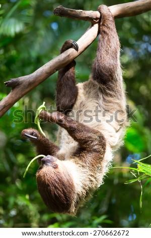 sloth climbing trees, feeding on the tree. - stock photo