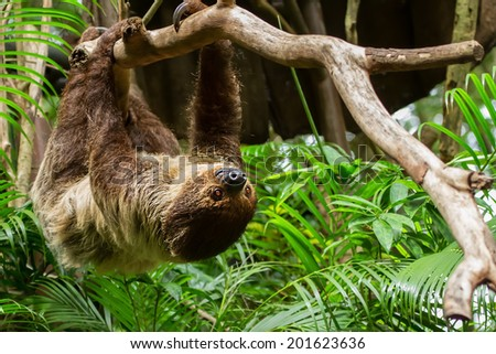 sloth in a tree - stock photo