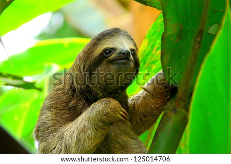 Sloth in Puerto Viejo, Costa Rica. - stock photo
