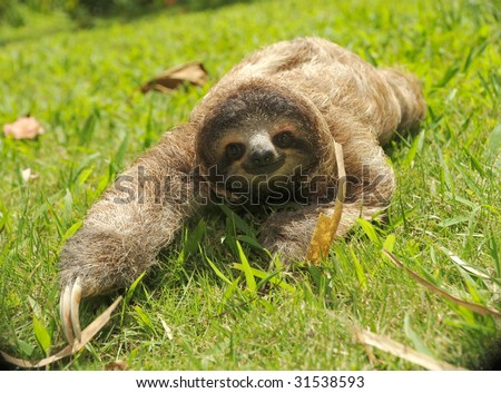 sloth, three toe juvenile costa rica 2 - stock photo