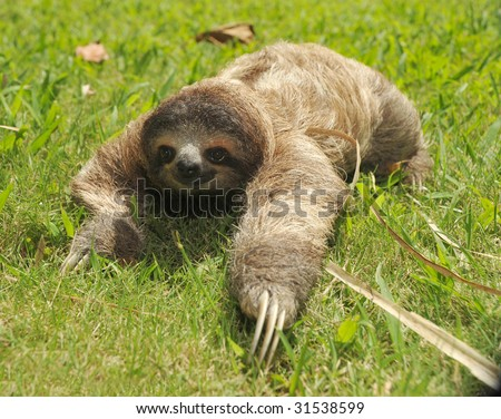 sloth, three toe juvenile costa rica 4 - stock photo