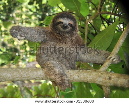 sloth, three toe juvenile playing in mango tree, cahuita, costa rica , central america exotic mammal in tropical jungle - stock photo