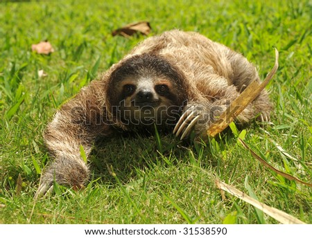 sloth, three toe juvenile seen in rare occasion walking on ground. cahuita, costa rica. ozos perizosos espanol lazy bear similar possum or racoon, tropical jungle latin america - stock photo