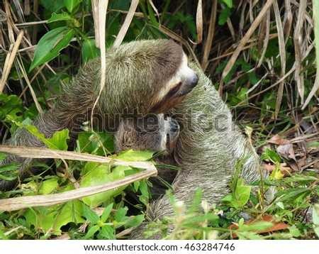 Sloth with baby on the move, Costa Rica