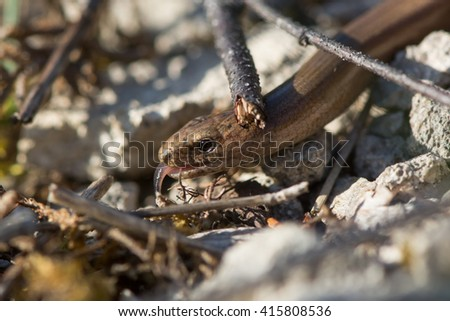 Slow worm (Anguis fragilis) amongst undergrowth with tongue sticking out. A legless lizard with sensing its environment with its forked tongue, in the family Anguidae - stock photo