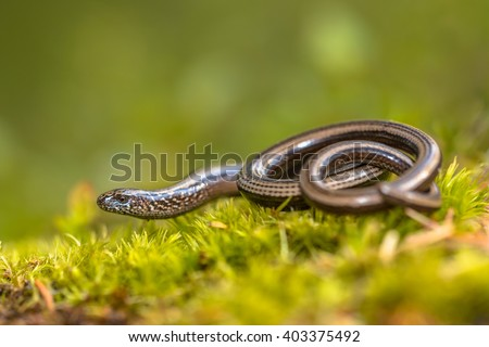 Slow worm (Anguis fragilis) on moss in a forest of Dolomites, Italy