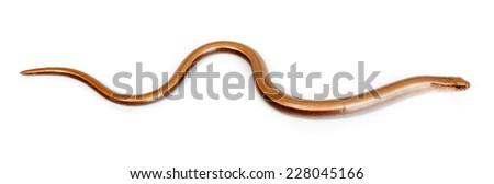 Slow worm or legless lizard on white background. Anguis fragilis - stock photo