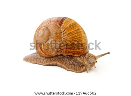 slowly snail crawling over white background - stock photo