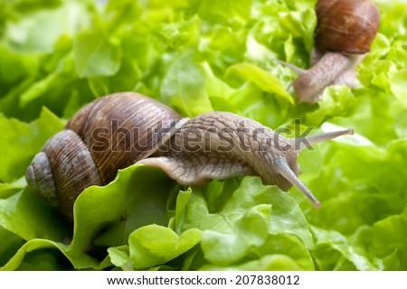 Slug in the garden eating a lettuce leaf. Snail invasion in the garden - stock photo