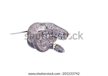 Slug snake - stock photo