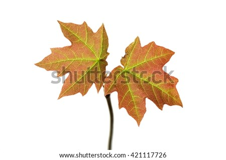 small acer on white background - stock photo