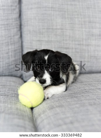 Small Adorable Black and White Terrier Mix Puppy Playing with Tennis Ball on Couch - stock photo