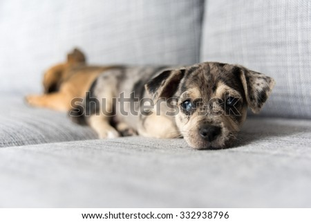 Small Adorable Terrier Mix Puppy Falling Asleep on Couch - stock photo