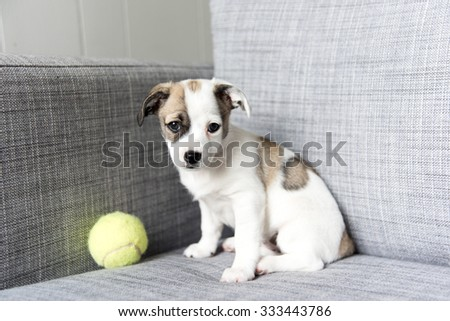 Small Adorable Terrier Mix Puppy on Couch - stock photo