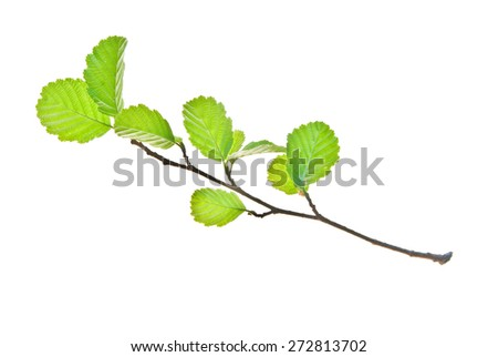 Small alder twig with young leaves isolated on white  - stock photo