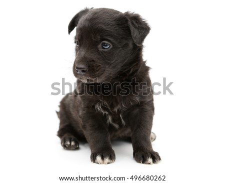 Small and serious black puppy, isolated on white