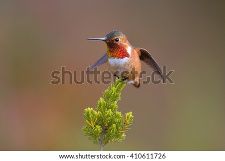 small angry bird - Allen's Hummingbird, Selasphorus sasin, orange and red bird from California sitting on twig with green background, nature habitat in botanical garden in Santa Cruz in the morning - stock photo