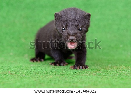 small animal mink ferret on a green background - stock photo