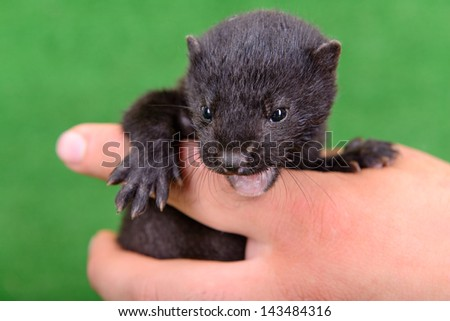 small animal mink ferret on human hands on green background - stock photo