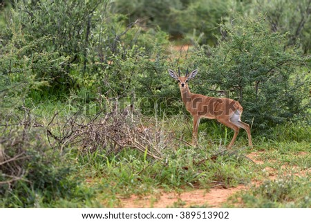 Small antelope Kirks(Damara) Dik-Dik; Madoque kirkii; Namibia, Africa - stock photo
