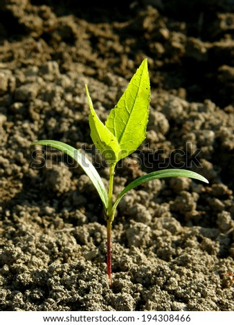 small ash-tree seedling with first true leaves - stock photo