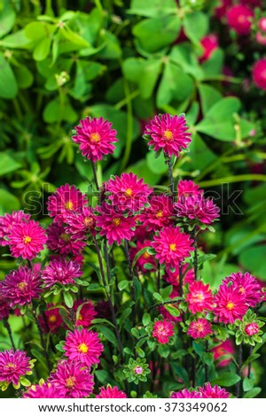 Small asters in the park. Selective focus - stock photo