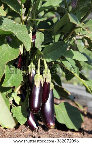 Small Aubergines or Eggplant on plant in garden surrounded by green leaves with dirt showing at base - stock photo