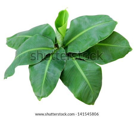 Small banana tree isolate on white background. Clipping path - stock photo