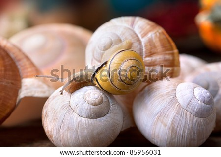 Small banded garden snails crawling on large empty snail shells - stock photo