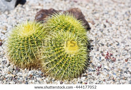 Small barbed cactus on a background of colored stones.