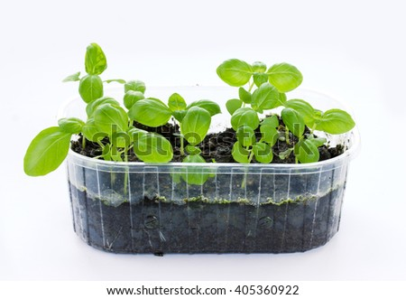 Small basil plants growing in plastic tray with soil isolated on white background - stock photo