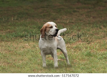 Small Beagle starting to turn around