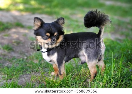 Small, beautiful, black-haired dog on the lawn - stock photo
