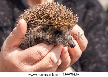 Small beautiful hedgehog in hands - stock photo