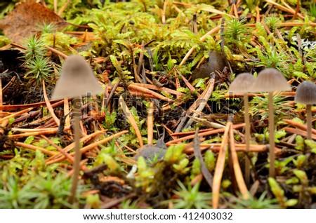 small beautiful mushrooms, fungus in wild autumn nature forest macro - stock photo