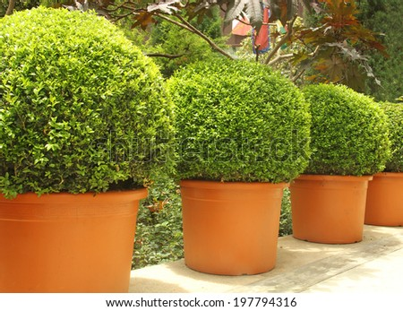 small beautiful trees in pots - stock photo