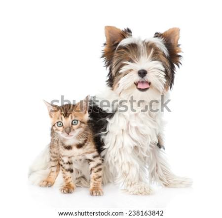 Small bengal cat and Biewer-Yorkshire terrier puppy together. isolated on white background - stock photo