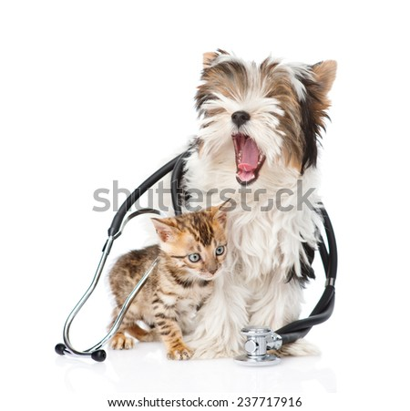 Small bengal cat and Biewer-Yorkshire terrier puppy with stethoscope on their neck. isolated on white background - stock photo
