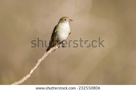 Small-billed Elaenia (Elaenia parvirostris) perched on a branch. Patagonia, Argentina, South America. - stock photo