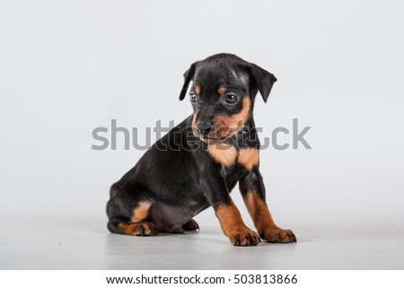 small black and tan Miniature Pinscher puppy sit at gray background
