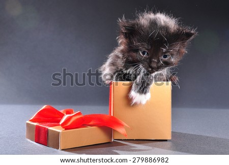 Small black and white kitten with white fluffy whiskers just getting out of present box. Isolated on dark background. Studio shot. - stock photo
